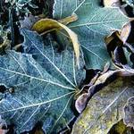 frosted leaves 5