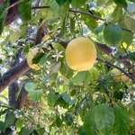 Our Lemon Tree 2