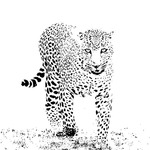Leopard in High Key