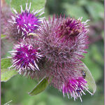 Lesser Burdock
