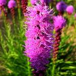 liatris