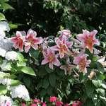 Lilies at Queen Elizabeth Park, Vancouver, BC