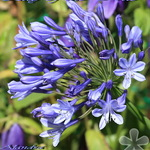 Lily of the Nile - Agapanthus