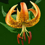 Turk&#39;s Cap Lily