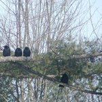 Little crows