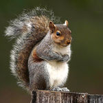 Little Grey Squirrel