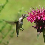 Little Hummer