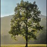 Lone Tree in Morning Light