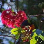 Lorikeetsficifolia 061