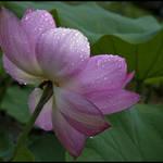 Lotus in Dew
