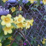 Carolina Jessamine