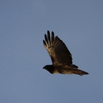 Low Sun Redtail Hawk