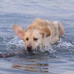 Splashing Dog, Lucy, retrieving