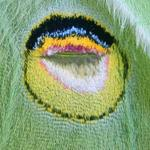 Luna moth wing eyespot