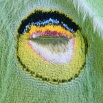 Luna moth wing eyespot