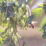 Macro Bee ...last one !