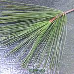 macro of pine needles