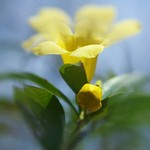 Yellow Jessamine Bud