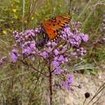 Gulf Fritillary in Ironweed