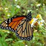 Monarch in Bidens alba