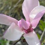 Magnolia Blossom (2)