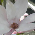 Magnolia Blossom (3)