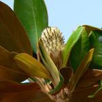 Magnolia Seed Pod