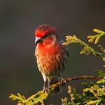 Male House Finch 2