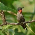 Male Hummingbird 41931