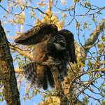 Mother Owl Stretching Wings, fanning tail