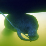 Manatee Under The Boat