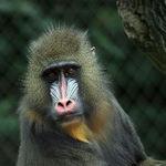 mandrill portrait