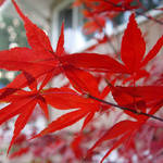 Maple with November Sun & Shadowing