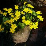 Marsh Marigold