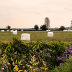 Marshmallow Harvest