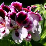 Martha Washington Geranium, (or Regal Geranium) bi-colour 2007