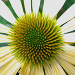 Maturing Echinacea