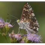 Blue Metalmark on Mist flower