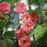 Mini Roses 2009