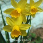 Miniature Daffoldils