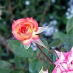 Miniture Rose #1
