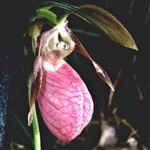 Pink Moccasin Flower