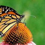 Monarch Butterfly on Cone Flower