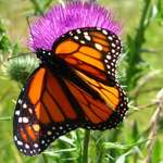 Monarch on Thistle 1