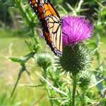 Monarch on Thistle 2