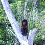 monkey. in tree