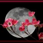 Dogwood Moon