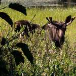 Silver Lake Bull Moose