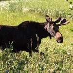 Bull Moose near Brighton Ski Resort