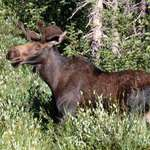 Bull Moose against Aspen Trees